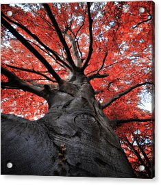 The Red Tree Acrylic Print by Philippe Sainte-Laudy Photography