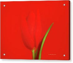 The Red Tulip Art Photograph Acrylic Print