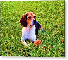 The Reserved Beagle Acrylic Print