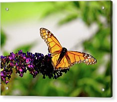 The Resting Monarch Acrylic Print