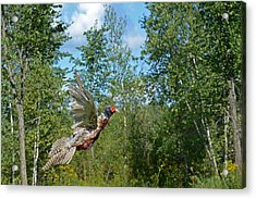 The Ring-necked Pheasant In Take-off Flight Acrylic Print