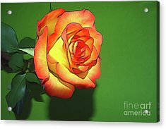 The Rose 4 Acrylic Print