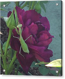 The Rose And Mantis Acrylic Print