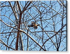 The Ruffed Grouse Flying Through Trees And Branches Acrylic Print