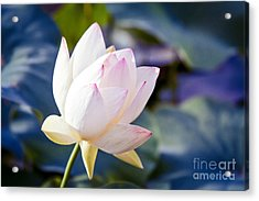 The Sacred Lotus Acrylic Print by Sharon Mau