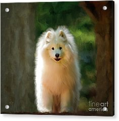 The Samoyed Smile Acrylic Print by Lois Bryan
