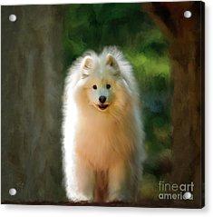 The Samoyed Smile Acrylic Print
