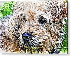 The Scruffiest Dog In The World Acrylic Print by Meirion Matthias