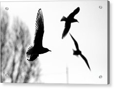 The Seagull Flying  Acrylic Print by Odon Czintos