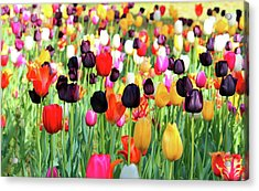 The Season Of Tulips Acrylic Print