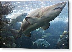 The Shark King Acrylic Print
