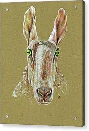 The Sheep Acrylic Print by Richard Mountford