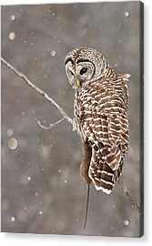 The Silent Hunter Acrylic Print