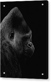 The Silverback Gorilla Bw Acrylic Print