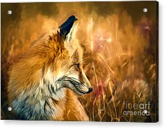 The Sly Fox Acrylic Print