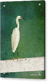 The Small White Heron - Snowy Egret Acrylic Print