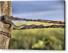 The Speckled Kingsnake  Acrylic Print by JC Findley