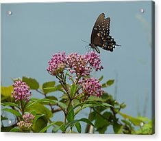 The Spicebush Swallowtail Of Prettyboy Reservoir Acrylic Print by Donald C Morgan
