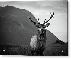 The Stag.  Acrylic Print