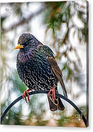 The Starling Acrylic Print