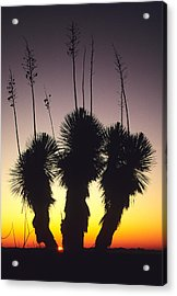 The Sun Sets Behind A Stand Of Yucca Acrylic Print by Bill Hatcher
