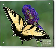 Acrylic Print featuring the photograph The Swallowtail by Sue Melvin