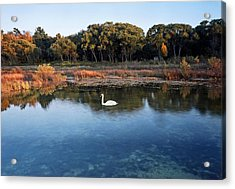The Swan Of Cross Village Marsh Acrylic Print