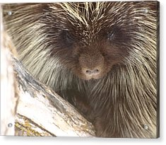 The Tender Side Of Porcupine Acrylic Print
