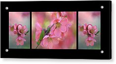 The Tender Spring Blooms. Triptych On Black Acrylic Print by Jenny Rainbow