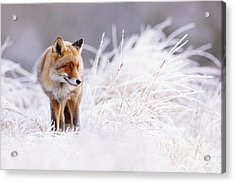 The Thinker - Red Fox In A Wintery Landscape Acrylic Print