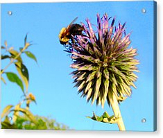 The Thistle And The Bee. Acrylic Print