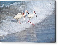 The Tide Of The Ibises Acrylic Print