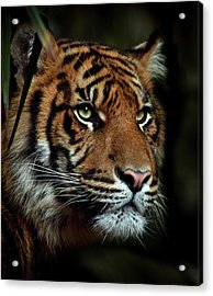 The Tiger Acrylic Print by Animus Photography