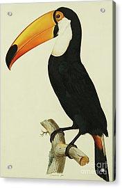 The Toco Toco Toucan  Ramphastos Toco Acrylic Print