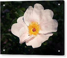 The Touch Of Pink Acrylic Print by Joanna Pechmann