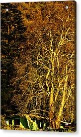 The Tree And The House Acrylic Print by Rajiv Chopra