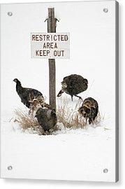 The Turkey Patrol Acrylic Print by Mike Dawson