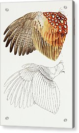 The Upper Side Of The Pheasant Wing Acrylic Print