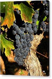 The Vineyard One Acrylic Print