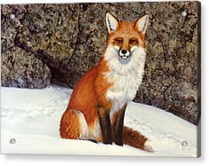 The Wait Red Fox Acrylic Print by Frank Wilson