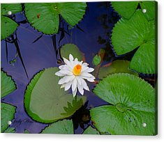The Water Lily Acrylic Print by Judy  Waller