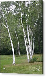The White Birch Acrylic Print by Dennis Curry