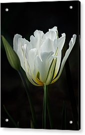 The White Tulip Acrylic Print by Richard Cummings