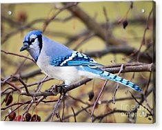 The Winter Blue Jay  Acrylic Print
