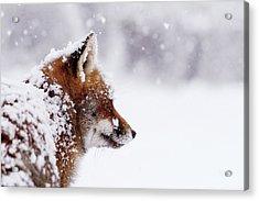 The Winterwatcher - Red Fox In The Snow Acrylic Print