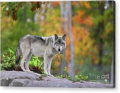 The Wolf. Acrylic Print
