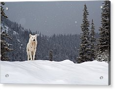 The Wolf Acrylic Print by Evgeni Dinev