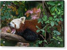 The Yawning Red Panda Acrylic Print