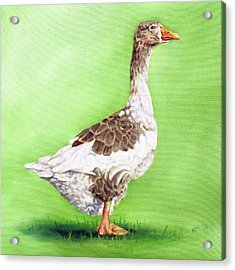 The Young Goose Acrylic Print by Richard Mountford