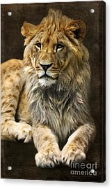 The Young Lion Acrylic Print by Angela Doelling AD DESIGN Photo and PhotoArt